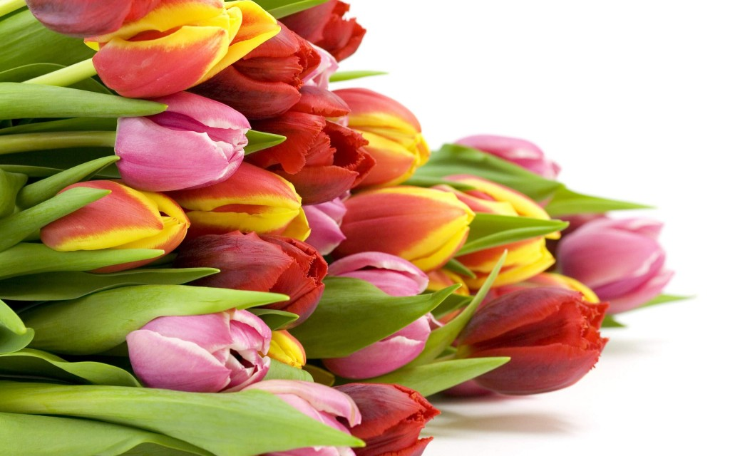beautiful-pink-red-tulips-all-flowers-send-flowers